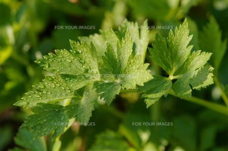 スープセロリの葉の写真素材 [FYI00419077]
