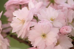 かんざし桜の写真素材 [FYI00419225]