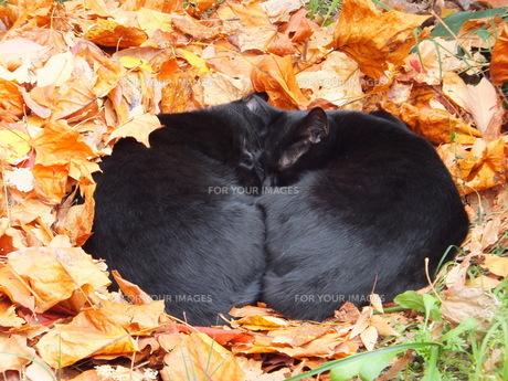 落ち葉のベッドでお昼寝する2匹の黒猫の写真素材 [FYI00419231]