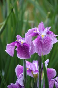 紫色と小脈の花菖蒲・猿踊の写真素材 [FYI00419275]