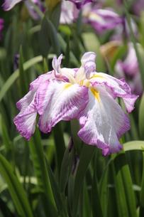 白地に薄紫色の縁取りと小脈の花菖蒲・月桂冠の写真素材 [FYI00419291]