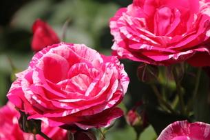 濃いピンクと薄ピンクのマーブル模様の薔薇・アンリ マティスの写真素材 [FYI00419296]