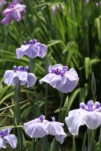 薄青紫色に青紫砂子と小脈の菖蒲・東鑑の写真素材 [FYI00419297]