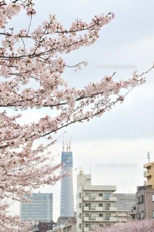 さくら並木と東京スカイツリーの写真素材 [FYI00419302]
