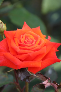 オレンジ色の薔薇・プロミネントの写真素材 [FYI00419303]