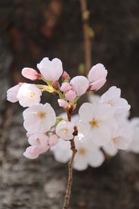 幹から生えた小枝に咲く桜の写真素材 [FYI00419305]