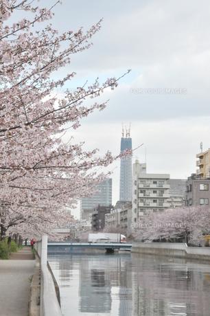 さくら並木と東京スカイツリーの写真素材 [FYI00419320]