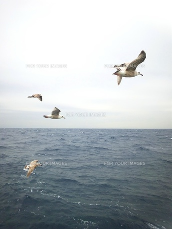 海鳥達02の素材 [FYI00419455]