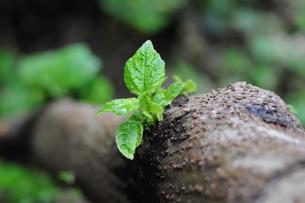 樹木の新芽の写真素材 [FYI00419465]
