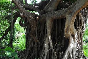ガジュマルの大木の写真素材 [FYI00419477]