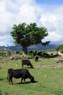 放牧された牛の写真素材 [FYI00419483]