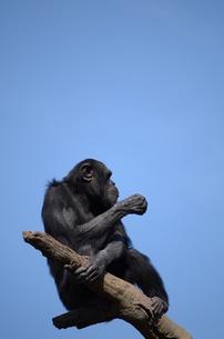 チンパンジーの写真素材 [FYI00419490]