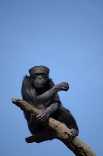 チンパンジーの写真素材 [FYI00419495]