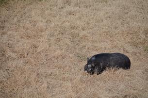 芝生の黒豚の写真素材 [FYI00419496]