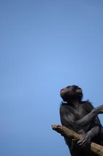 チンパンジーの写真素材 [FYI00419500]