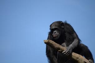 チンパンジーの写真素材 [FYI00419504]