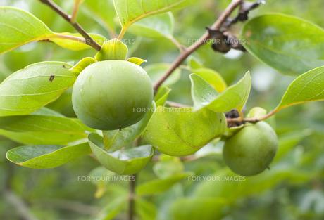青い柿の写真素材 [FYI00419514]