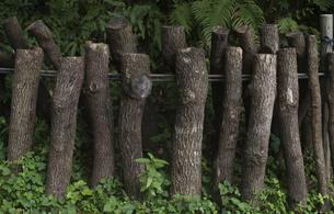 しいたけ栽培用のホダ木の写真素材 [FYI00419519]