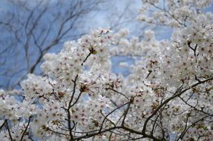 桜の写真素材 [FYI00419522]