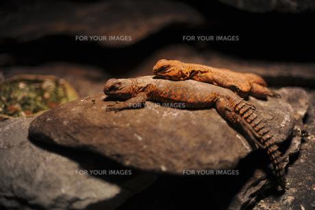 トカゲの親子の写真素材 [FYI00419562]