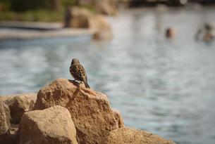 プールサイドの小鳥の素材 [FYI00419569]