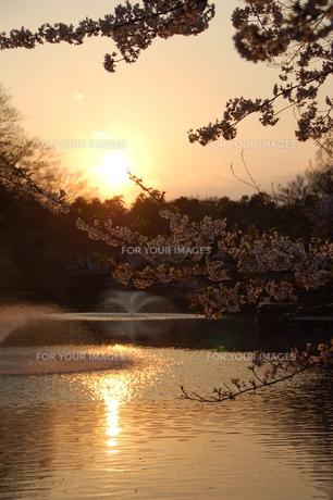 夕暮れ時の花見の写真素材 [FYI00419600]