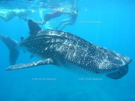 ジンベエザメと泳ぐの写真素材 [FYI00419607]