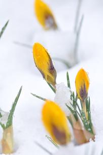 クロッカスと雪の写真素材 [FYI00419612]