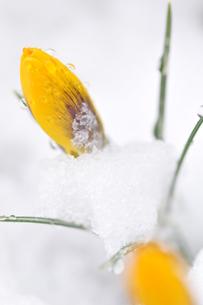 雪の中のクロッカスの写真素材 [FYI00419618]