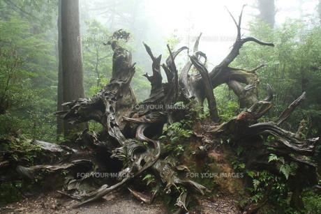 雨に濡れる蛇紋杉の写真素材 [FYI00419640]