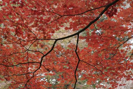 ハウチワカエデの紅葉の写真素材 [FYI00419677]