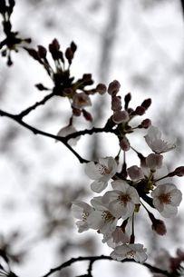 白い桜の素材 [FYI00419680]