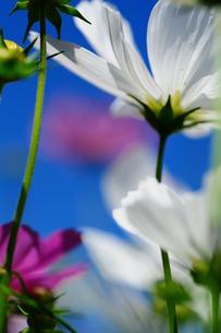 秋の花、コスモスの写真素材 [FYI00419715]
