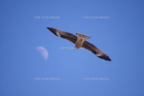 月とトンビの写真素材 [FYI00419748]