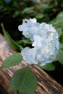 アジサイと木の調和の写真素材 [FYI00419843]