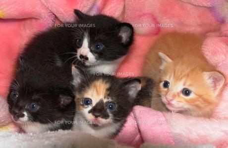 子猫達の写真素材 [FYI00419845]
