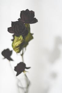 薔薇のドライフラワーの写真素材 [FYI00419847]