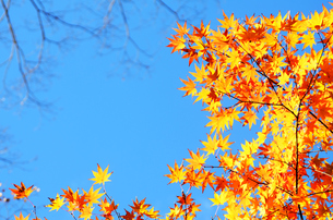 紅葉と空の写真素材 [FYI00419853]