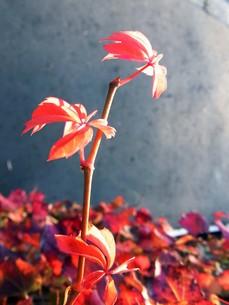 紅葉したナツヅタの新芽の写真素材 [FYI00420055]