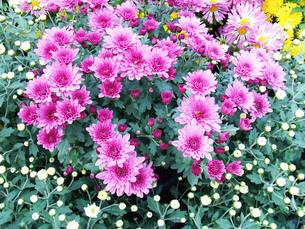 ピンク色のスプレー菊の写真素材 [FYI00420058]