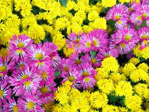 ピンクと黄色のスプレー菊の写真素材 [FYI00420060]