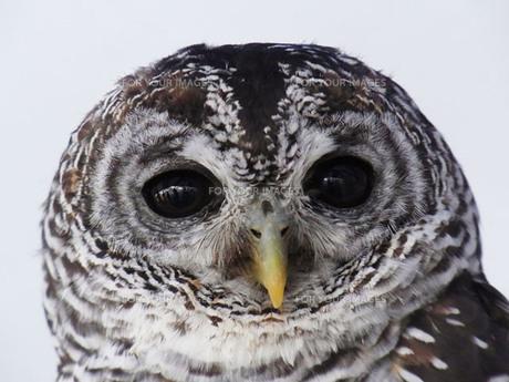 フクロウの顔アップの写真素材 [FYI00420063]