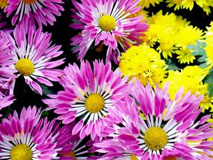 小菊の群生の写真素材 [FYI00420065]