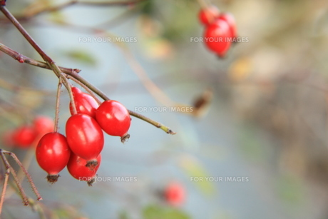 木の実 の写真素材 [FYI00420066]