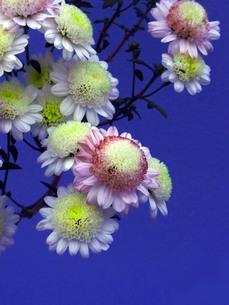 和風な小菊(背景色青)の写真素材 [FYI00420081]