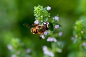 ハチの写真素材 [FYI00420119]