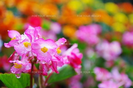雨上がりの花の素材 [FYI00420121]