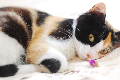 寝そべる1匹の三毛猫の写真素材 [FYI00420186]