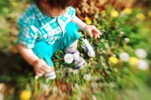 たんぽぽの綿毛を摘む男の子の写真素材 [FYI00420195]