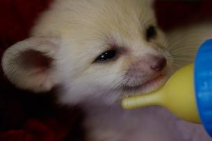 哺乳瓶で授乳を受けるフェネックギツネの赤ちゃんの写真素材 [FYI00420198]